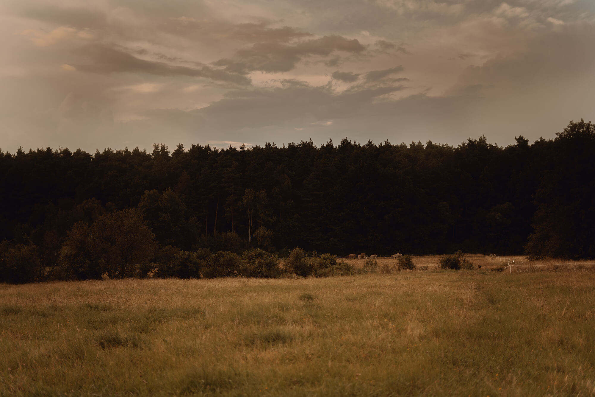 Sesja narzeczenska z osiolkami00010 - Kinga + Waldek | sesja narzeczeńska na farmie osiołków