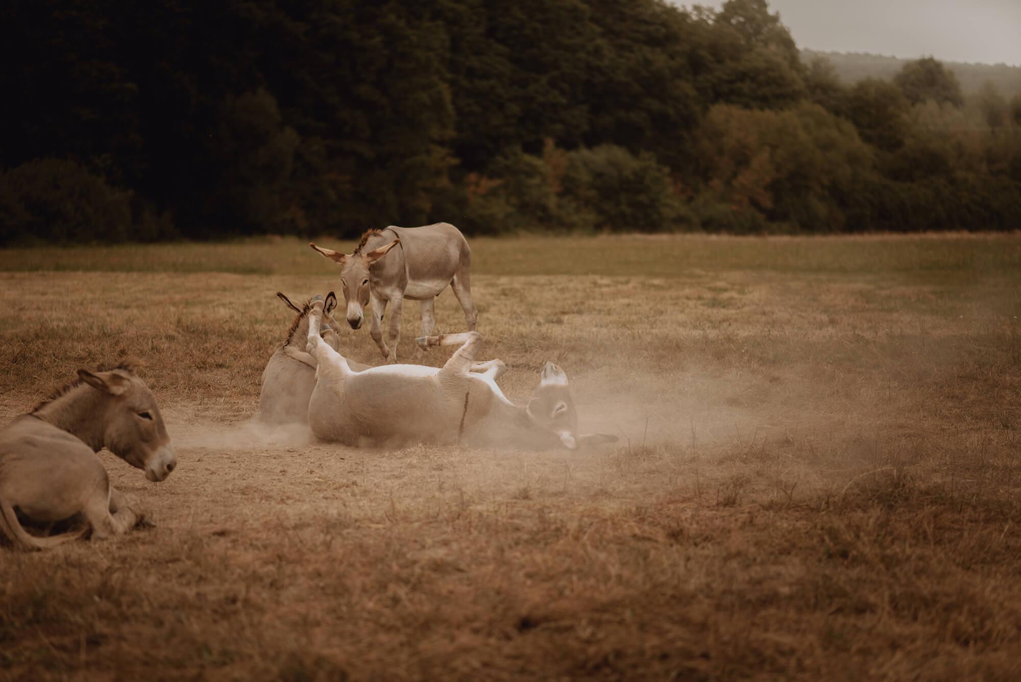 Sesja narzeczenska z osiolkami00036 - Kinga + Waldek | sesja narzeczeńska na farmie osiołków